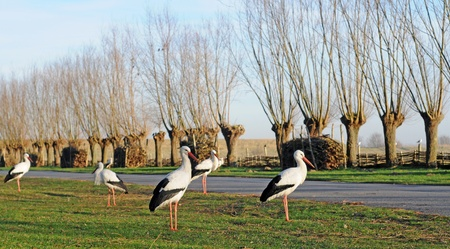 polder: storks in winter in polder with pollard willows or knots, selective focus Stock Photo