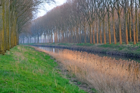 Row of poplars and reed in winter polder along canal in damme, bruges, flanders, belgium Stock Photo - 14120403