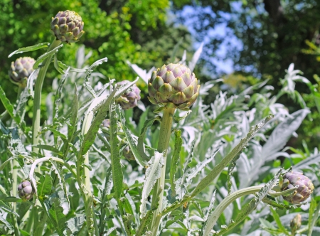 Artichoke plant in the wild, shallow depth of field Stock Photo - 14239593