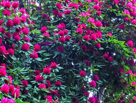 big rhododendron in full bloom Stock Photo - 16272450