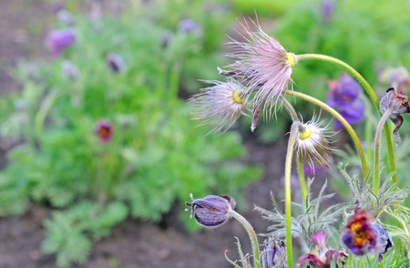 anemona pulsatilla or pasqueflower in fall, autumn, selective focus Stock Photo - 18267527