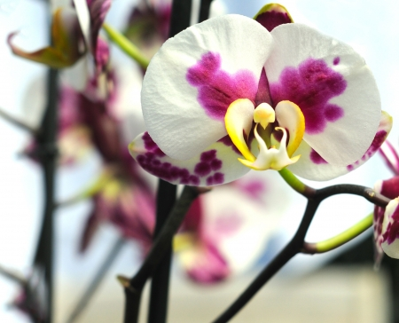 white and purple orchid with yellow heart, orchidacea phalaenopsis, selective focus Stock Photo - 18267547