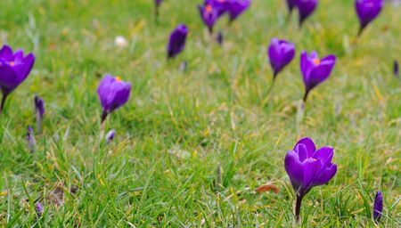 purple crocus iridaceae in the grass, selective focus Stock Photo - 18563124