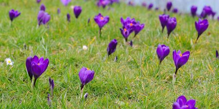 purple crocus iridaceae in the grass, selective focus Stock Photo - 18567341