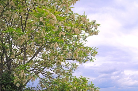 Acacia in glorious bloom with copy space