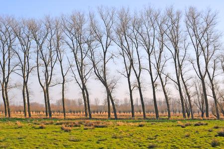 salix alba: marsh land with row of poplars and pollard willows in nature reserve assebroekse meersen, flanders