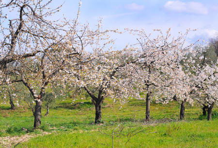 Orchard with cherry trees in bloom, spring in italy, selective focus photo