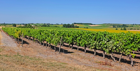 Vineyard with Pineau grapes in the Cognac region, department Charente-Maritime, in summertime, France Stock Photo