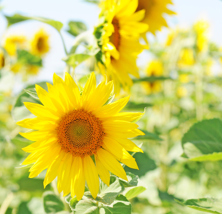 field of unripe sunflowers or helianthus in summer, selective focus
