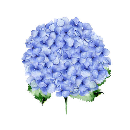 Blue watercolor hydrangea floral design. Used for wedding or greeting card template, fabric print composition, st.Valentines day card or Mothers day card decoration. Botanical illustration.