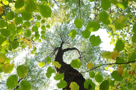 directly below: Summer forest worms-eye view. Autumn background. Leaf silhouette. Stock Photo