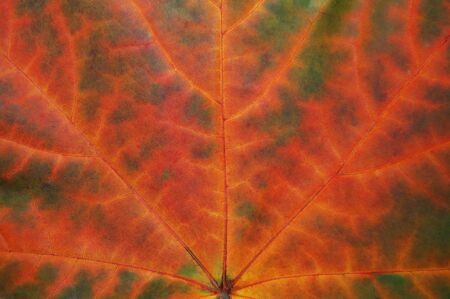 garish: Leaf texture in autumn. Stock Photo