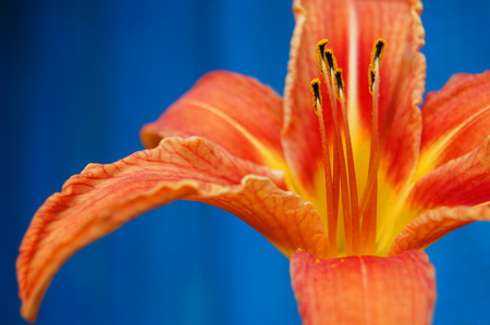 contrast: An orange flower on a contrast blue background. orange lily. Stock Photo