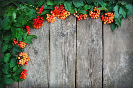 guelder: Autumn guelder rose over wooden background. Green and red on wooden background