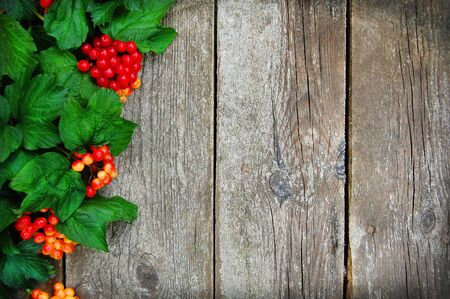 Autumn guelder rose over wooden background. Green and red on wooden background