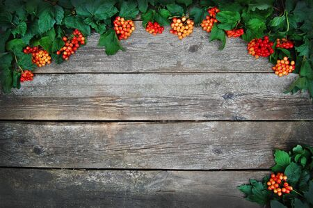 guelder rose berry: Autumn guelder rose over wooden background. Green and red on wooden background