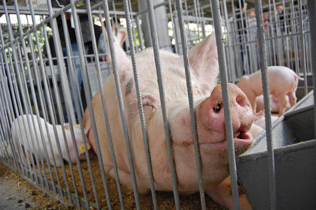 feeding through: Pig in a cage. Exibition. Stock Photo