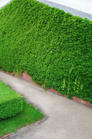 ivy wall: Ivy wall in garden. Geometric forms. Angles