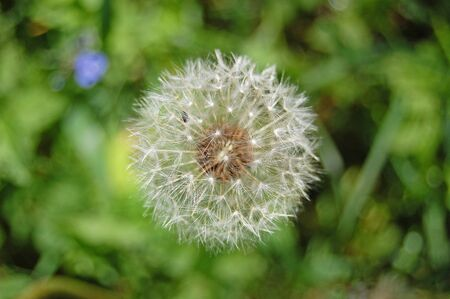 blowball: Spring flower, green, greenery. Herb and leaves. Dandelion, blowball.