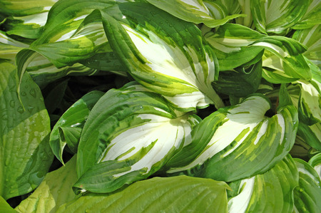 plantain herb: Spring flower, green, greenery. Herb and leaves. Plantain lily. Stock Photo