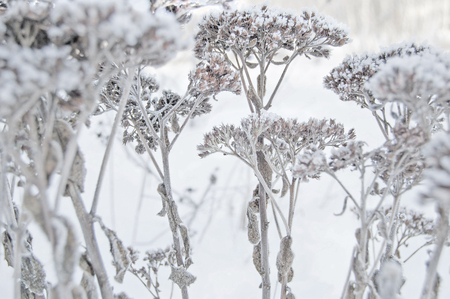 christmas grounds: Winter. Macro. Frozen herb on snow background. Plants in frost. Common yarrow.