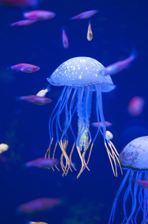 Little medusas in aquarium. Ocean or sea inhabitants, fishes, water plants. Standard-Bild