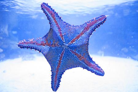 clavados: Estrella de mar en el agua. Acuario habitante, asteroide, estrella de mar, océano.