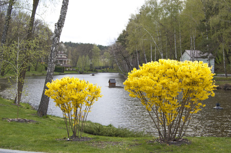 Landscape design, plants and trees near lake. Flower bloom. Spring. Forsythia