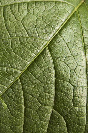 Green leaf texture with side light, macro