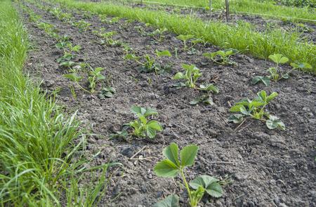 Garden strawberry, kitchen-garden
