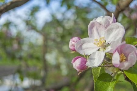 apple flower on garden background, green fresh leaves, springtime, landscape design Stock fotó