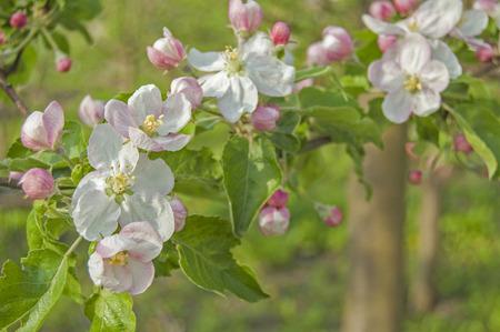 apple flower on garden background, green fresh leaves, springtime, landscape design Standard-Bild
