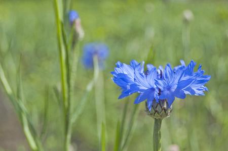 Cornflower in the field, springtime Standard-Bild