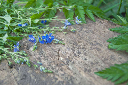 Shabby background with green grass, fresh leaves and blue little flowers - forget-me-not close up