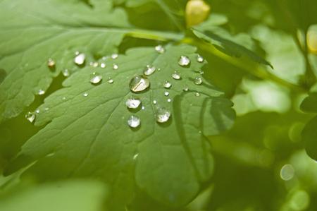 Celandine washed with dew, green grass, garden