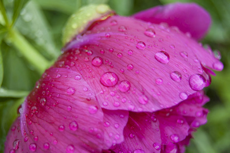 Peony washed with dew. Flower in garden