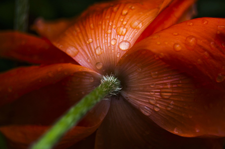 Red poppy in drops of dew in garden. Flower washed with dew