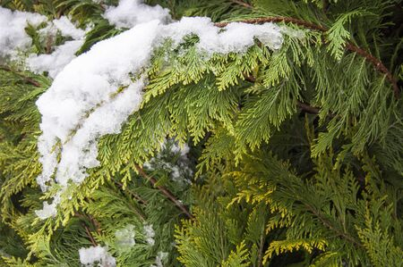 Green organic ornament. Thuja, cedar branch and leaves, nature background in snow, winter