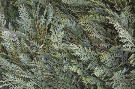 Green organic ornament. Thuja, cedar branch and leaves, nature background in snow,