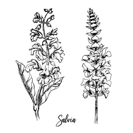 Hand-drawn two sprigs of flowering salvia. Hand drawn doodle sketch vector illustration.