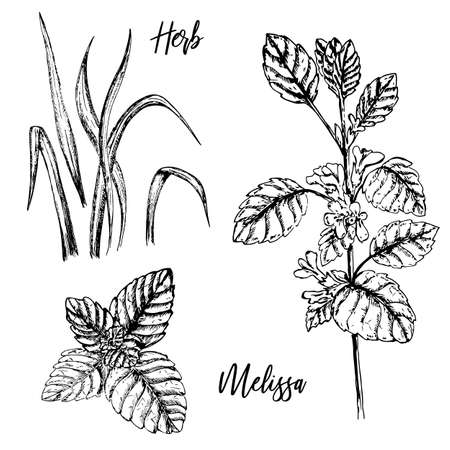 Hand-drawn plant twigs. Sprig of melissa balm with buds. Leaves of melissa balm. Healing herbs. Hand drawn doodle sketch vector illustration.