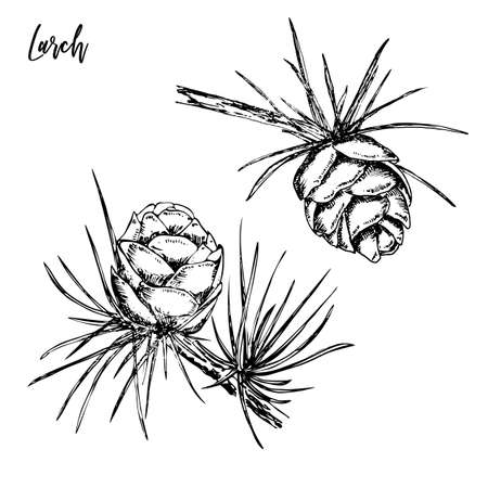 Hand drawn sprigs of larch with long needles and cones. Hand drawn doodle sketch vector illustration.