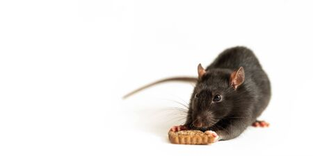 cute black rat eats a piece of cookie on a white background, close-up Imagens