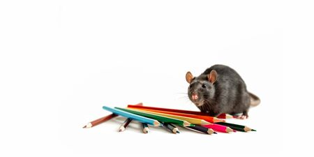 black rat stands near colored pencils on a white background as a young artist from the magazine cover, good mood