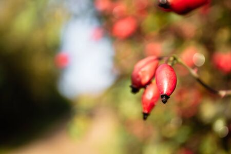 On the branch are red berries of rose hips lit by autumn sunlight and photographed in close-up.