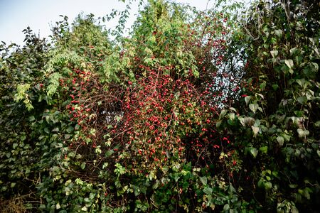 On the branch are red berries of rose hips lit by autumn sunlight, place for text Banco de Imagens