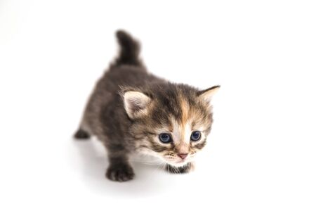 Little kitten isolated on white background close-up. Tabby cat baby walks with a frightened and curious look.