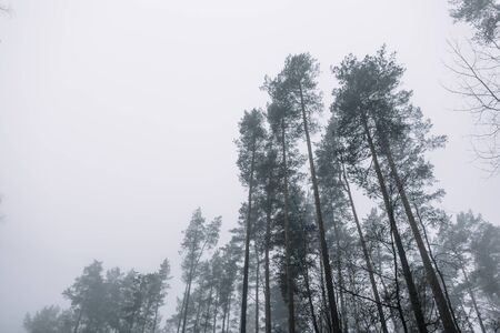 tops of pines around in the woods against the grey sky on a misty day