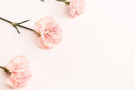 在白色背景隔绝的三个桃红色康乃馨,极简主义