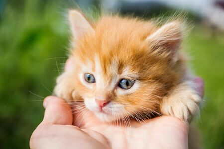 Little red kitten with a cute face and blue eyes close-up on the palm of the man in summer day Archivio Fotografico